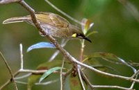 Yellow-spotted Honeyeater - Meliphaga notata