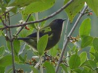 New Zealand Bellbird - Anthornis melanura