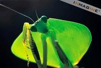 Hooded Leaf Mantis photo