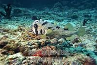 ...short spined Porcupine fish ( Diodon liturosus ) , Vakarufalhi , Ari atoll , Indian Ocean , Mald