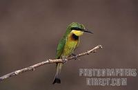 Little bee eater , Merops pusillus , South Luangwa National Park , Zambia stock photo