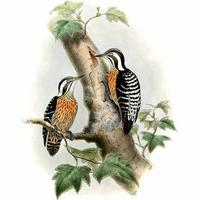 Pic à coiffe grise Dendrocopos canicapillus Grey-capped Woodpecker © John Gould