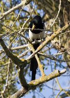 : Pica nuttalli; Yellow-billed Magpie