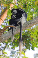 : Colobus guereza; Black And White Colobus