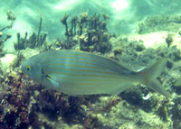 Sarpa salpa, Salema: fisheries, gamefish, bait