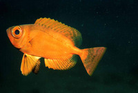 Priacanthus arenatus, Atlantic bigeye: fisheries, gamefish, aquarium