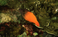 Pervagor melanocephalus, Redtail filefish: fisheries, aquarium