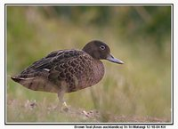 Brown Teal - Anas chlorotis
