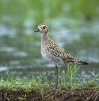 Pacific Golden-Plover (Pluvialis fulva) photo