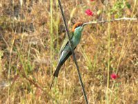 Blue-throated Bee-eater - Merops viridis