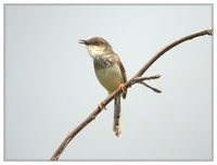 Gray-breasted Prinia - Prinia hodgsonii