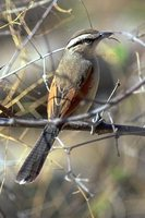 Brown-crowned Tchagra - Tchagra australis