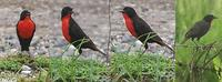 Red-breasted Blackbird - Sturnella militaris