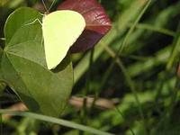 Image of Yellow Butterfly