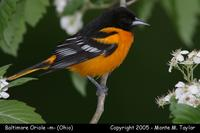 Baltimore Oriole (male) - Ohio