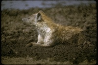 : Hyaena brunnea; Brown Hyena