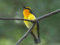 Ficedula narcissina Narcissus Flycatcher キビタキ♂