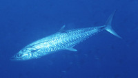 Scomberomorus commerson, Narrow-barred Spanish mackerel: fisheries, gamefish