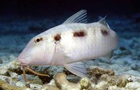 Pseudupeneus maculatus, Spotted goatfish: fisheries, aquarium