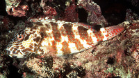 Cirrhitus pinnulatus, Stocky hawkfish: fisheries, gamefish, aquarium