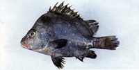 Hapalogenys nitens, : fisheries, aquaculture