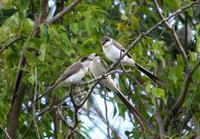 Image of: Tyrannus savana (fork-tailed flycatcher)