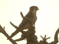 Red-necked Falcon - Falco chicquera
