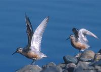 Red Knots at MSP © Eric Caine