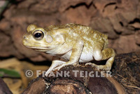 : Bufo regularis; Square-marked Toad