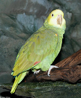 : Amazona oratrix; Double Yellow-headed Amazon Parrot