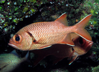 : Mypristis murdjan; Red Soldierfish