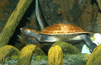 : Podocnemia erythrocephala; Red-headed Amazon River Turtle
