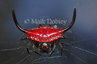 : Gasteracantha sp.; Spiny Orb-weaver