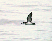 Manx Shearwater. 30 September 2006. Photo by Jay Gilliam