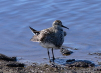 ...Displaying Pectoral Sandpiper. Photo by Rick Taylor. Copyright Borderland Tours. All rights rese