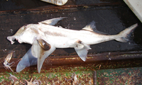 Callorhinchus capensis, Cape elephantfish: fisheries, gamefish