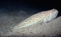 Trachinus radiatus, Starry weever: fisheries
