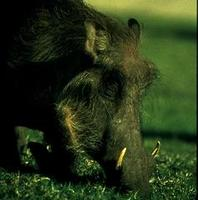 Image of: Phacochoerus africanus (common warthog)