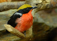 Image of: Laniarius barbarus (yellow-crowned gonolek)