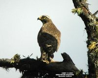 Grey-faced Buzzard - Butastur indicus