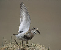Rock Sandpiper (Calidris ptilocnemis) photo