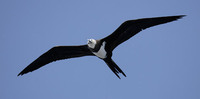 Ascension Island Frigatebird (Fregata aquila) photo