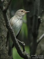 Spotted Flycatcher - Muscicapa striata