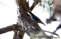 Giant Nuthatch - Sitta magna