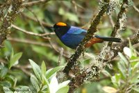 Golden-crowned Tanager - Iridosornis rufivertex