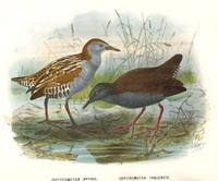 marsh crake and spotless crake