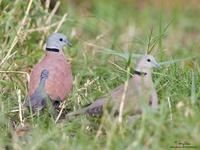 Red Turtle-Dove Scientific name - Streptopelia tranquebarica humilis