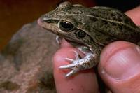 : Cyclorana alboguttata; Striped Burrowing Frog