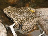 : Rana muscosa; Mountain Yellow-legged Frog