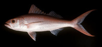 Etelis coruscans, Flame snapper: fisheries, gamefish, bait